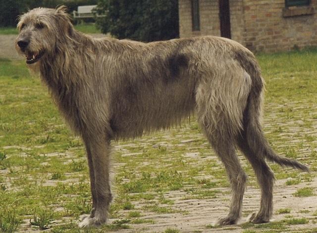 Top 10 maiores raças de cães do mundo - Lébrel irlandês