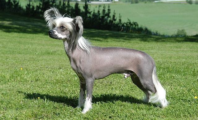 Top 10 raças de cães mais caras do mundo - Cão de Crista Chinês