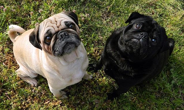 Top 10 raças de cães mais caras do mundo - Pug