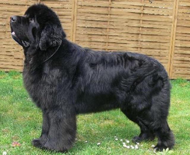 Top 10 raças de cães mais caras do mundo - Terra Nova