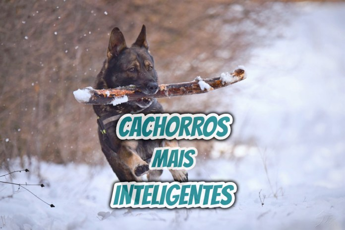 Top 10 cachorros mais inteligentes do mundo (Ranking de raças)