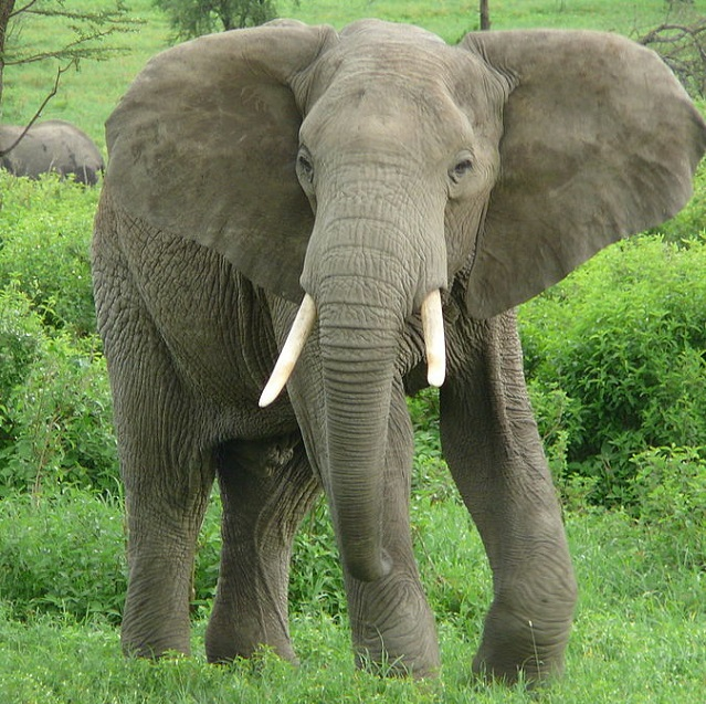 Top 10 animais mais perigosos do mundo - Elefante Africano