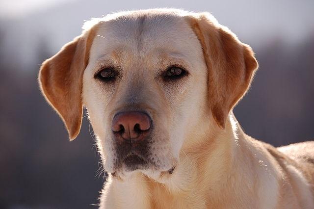 Top 10 raças de cães mais inteligentes do mundo - Labrador