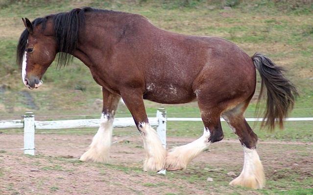 Top 10 raças de cavalos mais caras do mundo - Cavalo de Clydesdale