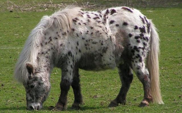 Top 10 raças de cavalos mais caras do mundo - Pônei de Shetland