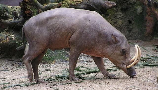 Top 10 animais que você não vai acreditar que existem - Babirusa