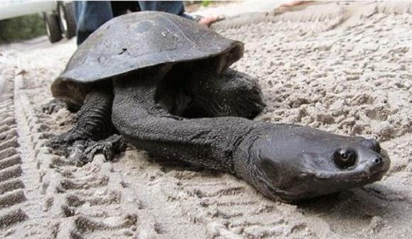 Top 10 animais que você não vai acreditar que existem - Tartaruga Cabeça de Cobra