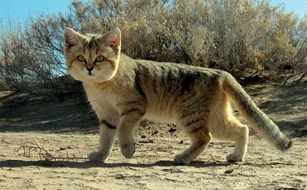 Top 10 espécies de gatos únicas no mundo - Gato-do-deserto