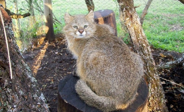 Top 10 espécies de gatos únicas no mundo - Gato-dos-Pampas