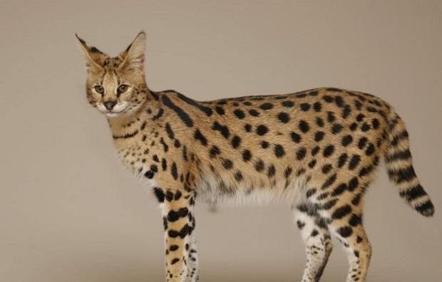 Top 10 espécies de gatos únicas no mundo - Gato Savannah
