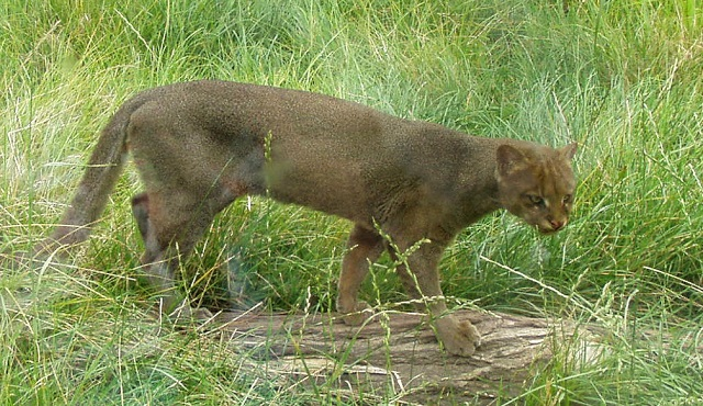 Top 10 espécies de gatos únicas no mundo - Jaguarundi