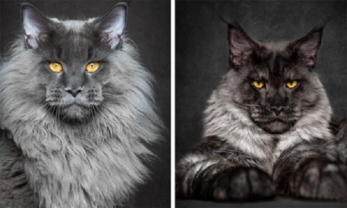 Top 10 raças de gatos únicas e incomuns do mundo