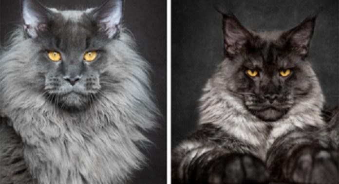 Top 10 espécies de gatos únicas no mundo
