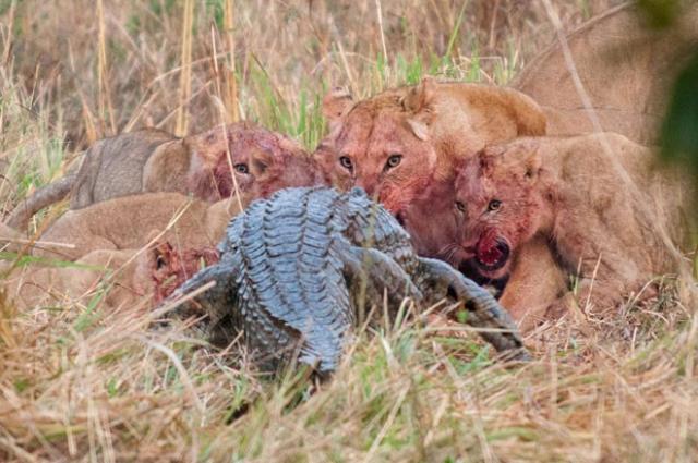 Animais Selvagens - Leões