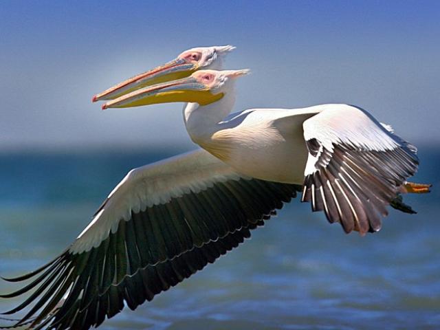 Animais Selvagens - Pelicanos