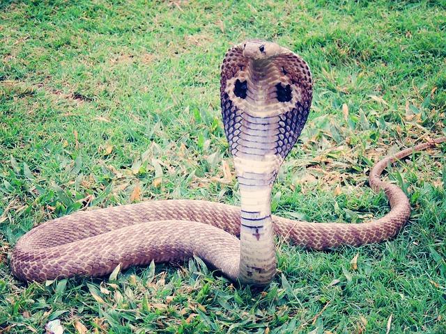 A maior cobra peçonhenta do mundo