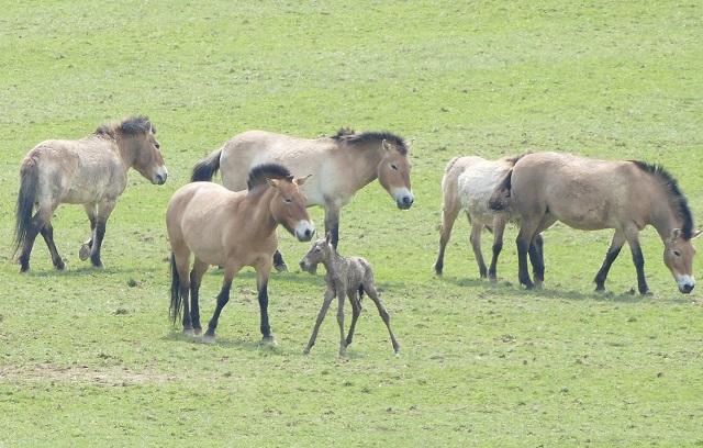 Na prática, os cavalos selvagens estão todos extintos