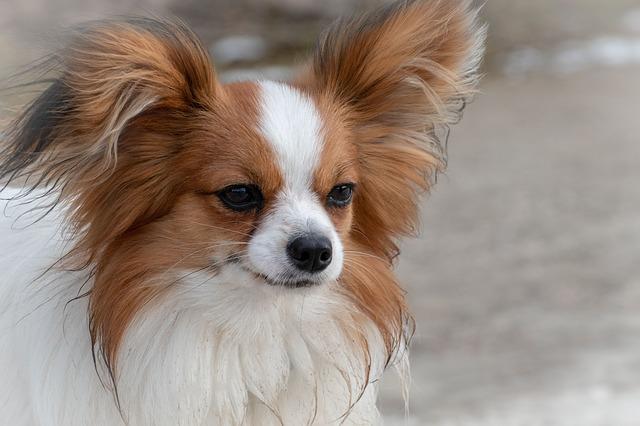 Cachorros mais inteligentes - Papilon