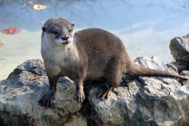 Animais em extinção no Brasil - Ariranha