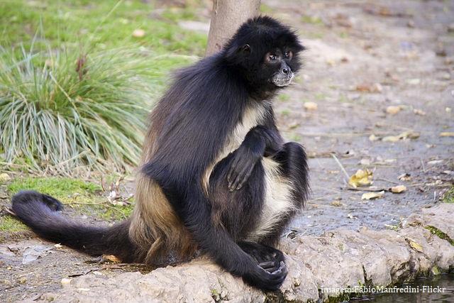 Macaco-aranha de barriga branca