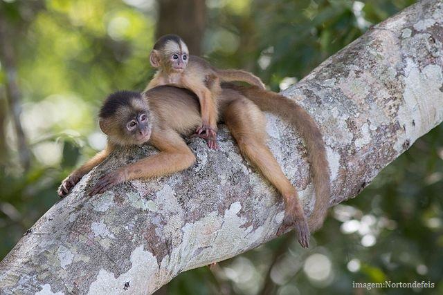Animais em extinção no Brasil - Macaco-caiarara