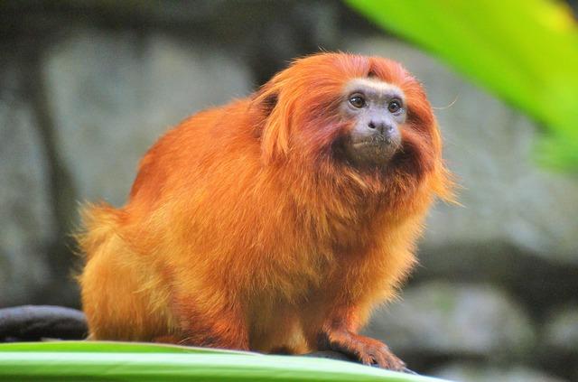 Animais em extinção no Brasil - Mico-leão-dourado