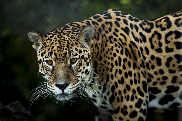 Animais em extinção no Brasil - Onça-pintada