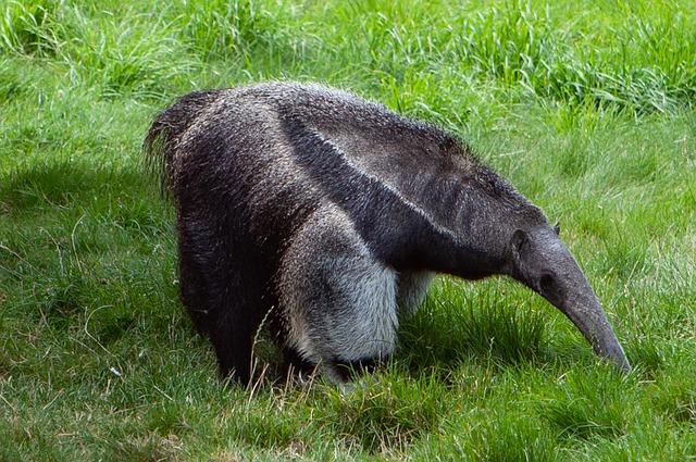 Animais em extinção no Brasil - Tamanduá-bandeira