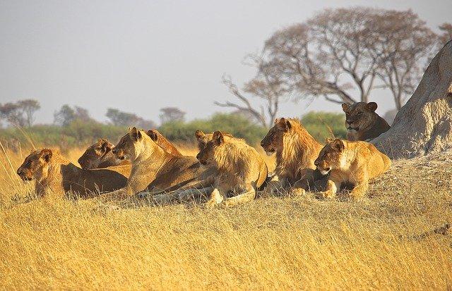 Atualmente, leões só na África