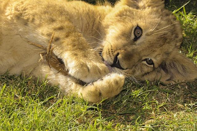 Filhotes de leão bem protegidos