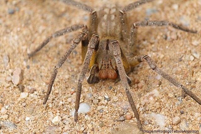 aranhas mais venenosas - aranha armadeira