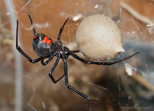 aranhas venenosas - viuva negra