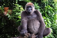 Cross river gorilla