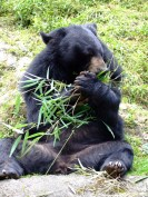 Asiatic black bear