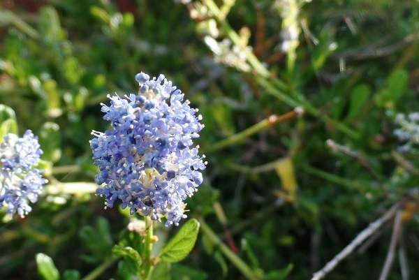 ceanothus - california lilac
