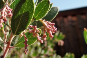 Arctostaphylos, Manzanita beginning to bud