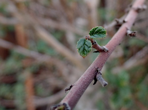 California lilac in January sprouting new leaves