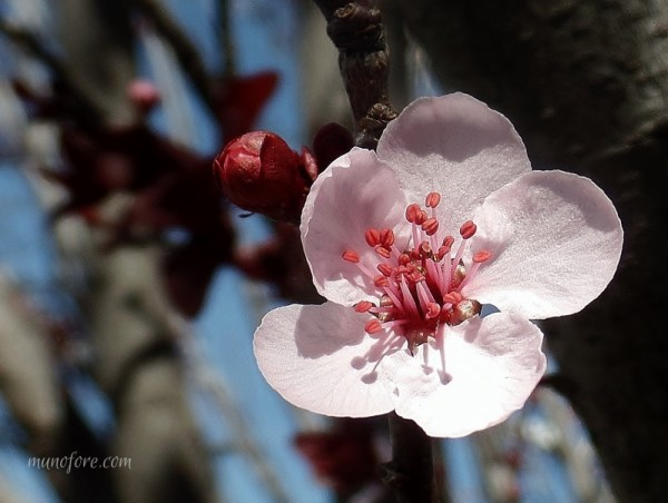 "Photos of plum tree blossoms, a ""friend of winter"", symbol of endurance - pink flowers - photography - flower photography"
