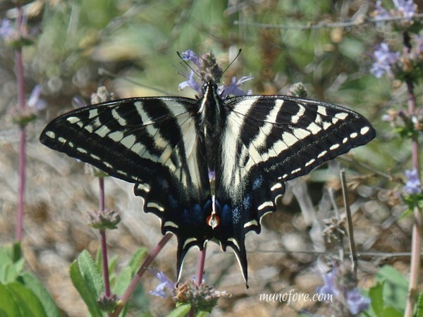 Papilio eurymedon in Salvia (pale swallowtail butterfly in sage blossoms)