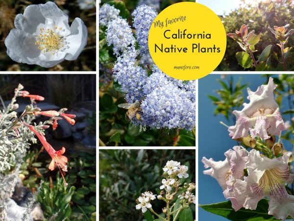 Photos of California Native Plants in a home landscape. Toyon, Chitalpa, Arctostaphylos, Ceanothus, Zauschneria, Erigeron