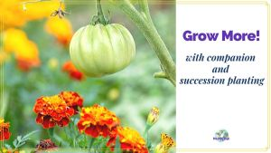 "tomato planted with marigold and text overlay ""Grow More with succession and companion planting"""