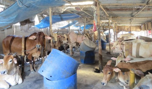mirkadim-cow-03