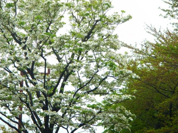 街路樹のハナミズキが見頃に。 #フォト4.19