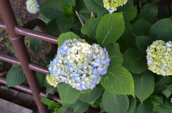 紫陽花、色づく 5・31 #フォト