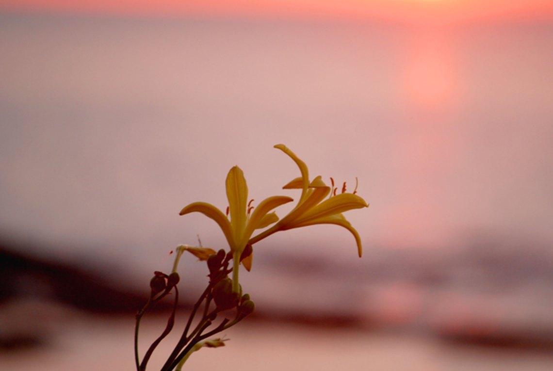 夕日をバックにユウスゲの写真