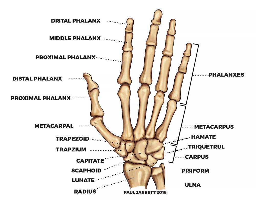 medium resolution of hand bones diagram blog wiring diagram labeled diagram of hand bones hand bones diagram wiring diagram