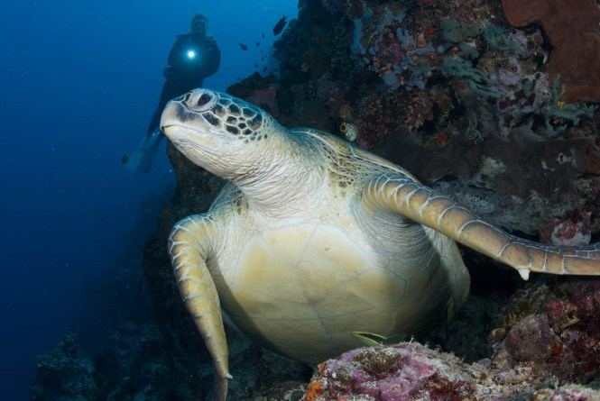 Green Sea Turtle at Lekuan