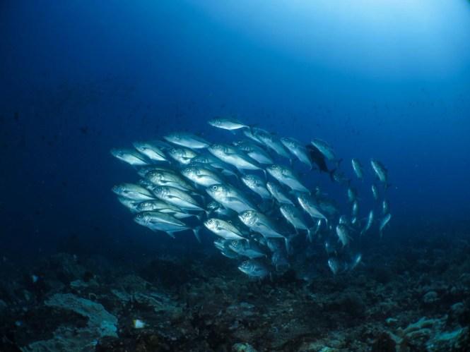 Jack Fish at Pangulingan dive site Bunaken Island