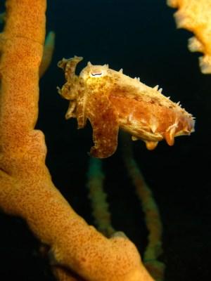 Hiding Cuttlefish