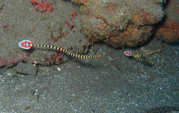 Banded Pipefish (Doryrhamphus dactyliophorus)